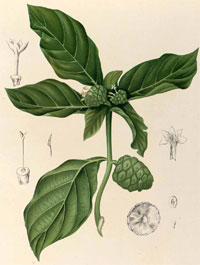 morinda_citrifolia_tree
